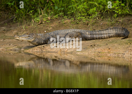 COMMON, WHITE or SPECTACLED CAIMAN Caiman crocodilus - Stockfoto