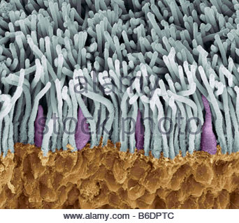 Retina. Coloured scanning electron micrograph (SEM) of rods (yellow) and cones (green) in retina of eye. - Stock Photo