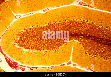 Purkinje nerve cells, Light micrograph of asection through the cerebellum in the brain - Stockfoto