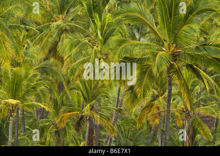 Coconut palm trees at Puuhonua O Honaunau National Historical Park South Kona Island of Hawaii - Stock Photo
