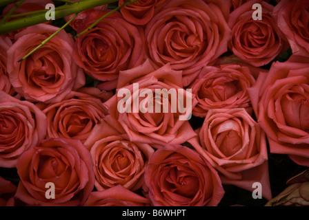 Valentine 39 s day roses rose perennial flowering shrub vine for Natural multi colored roses