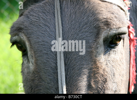 Close-up of a donkey's head - Stock Photo