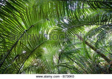 Suriname, Brownsweg, Brownsberg National Park. Palm trees. - Stock Photo