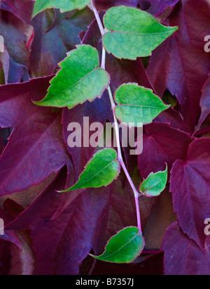 Boston Ivy growing on wall Seattle, Washington, USA - Stock Photo