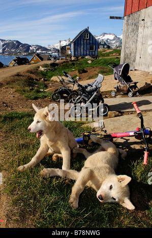 Sledge dog puppies in Tasiilaq, Ammassalik, East Greenland, Greenland - Stock Photo