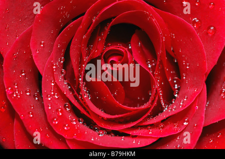 Macro image of red rose with water droplets - Stock Photo