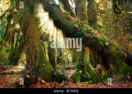 Hoh rain forest in Olympic National Park in autumn - Stock Photo