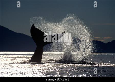 Humpback whale lobtailing, Icy Strait, Southeast Alaska - Stock Photo