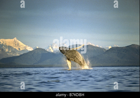 Humpback Whale breaching, Icy Straits, Southeast Alaska - Stock Photo