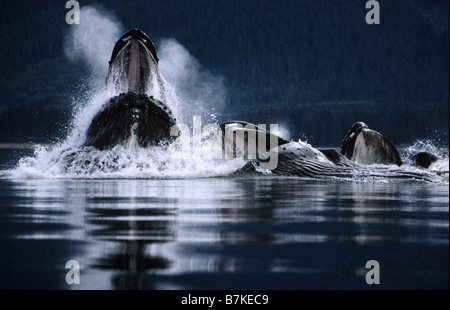 Humpback Whales bubblenet feeding,Tenakee Inlet, Southeast. Alaska - Stockfoto