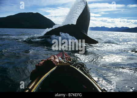 Humpback Whale lobtailing, Chatham Straits, Southeast Alaska - Stock Photo