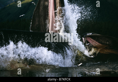 Humpback Whale lunge feeding,Tenakee Inlet, Southeast Alaska - Stock Photo