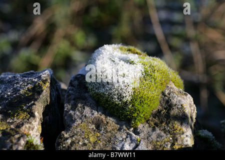 Frost covered clump of Wall screw-moss Manifold Valley Staffordshire, England - Stockfoto