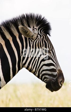 Zebra Game Park South Africa - Stock Photo