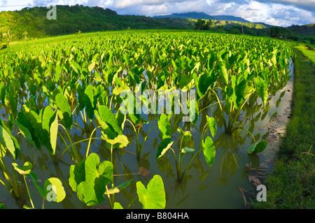 Taro fields in Hanalei Valley Hanalei Island of Kauai Hawaii - Stockfoto