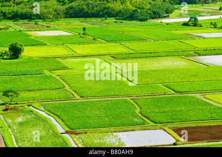 Taro fields in Hanalei Valley Island of Kauai Hawaii - Stockfoto