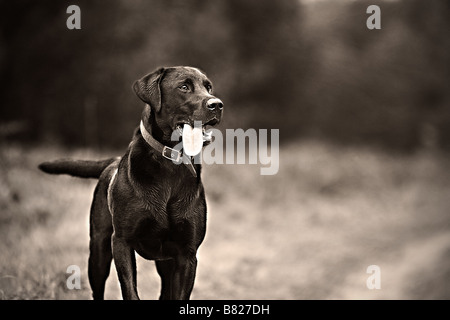 Proud Alert Labrador in Countryside - Stock Photo
