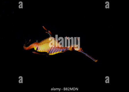 Weedy sea dragon, Australia, night dive, dark water, scuba, diving, colorful, underwater, ocean, sea, scuba, diving, - Stock Photo