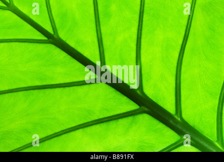 detail of an Alocasia leaf with see through light showing texture - Stock Photo