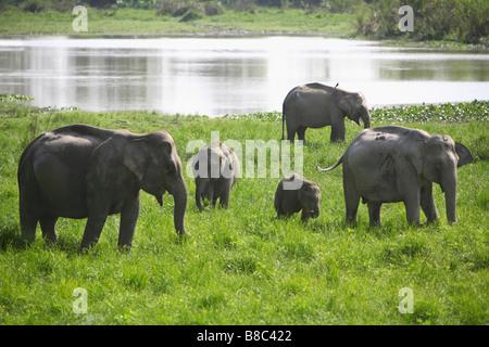 A herd of Wild Elephants (Elephas maximus) at Periyar National Park, Thekady, Kerala, India. - Stock Photo