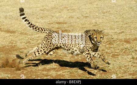 Running cheetah - Stockfoto