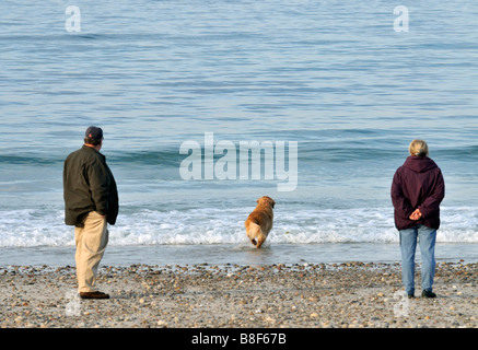 Golden Retriever on the beach running into the water with man and woman watching at Sandy Neck Beach in Sandwich - Stock Photo