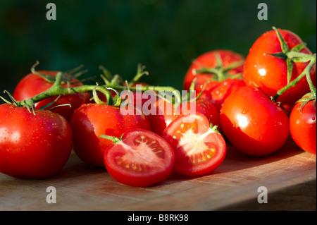 Freshly picked home grown organic vine tomatoes - Stock Photo