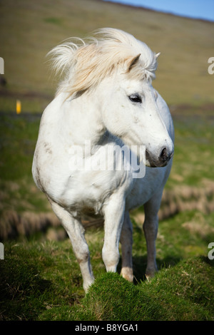 An Icelandic horse Iceland. - Stock Photo