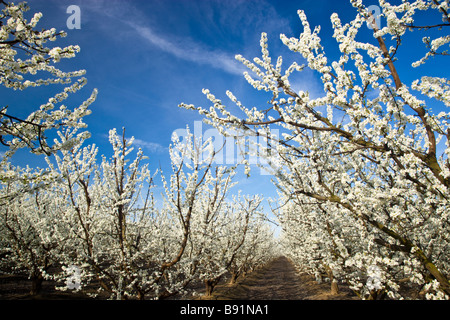 Fruit  'plot'  flowering orchard, blue sky,early morning light. - Stock Photo