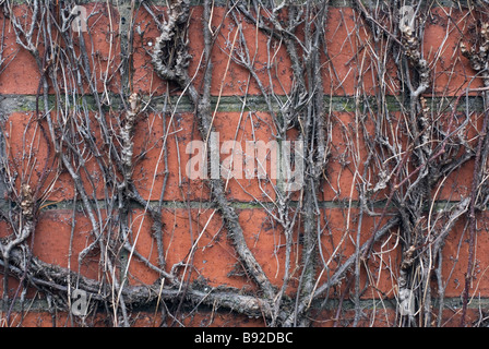 Boston Ivy - Stockfoto