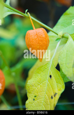 chinese lantern plant physalis alkekengi with its round fruits stock photo 4511282 alamy. Black Bedroom Furniture Sets. Home Design Ideas