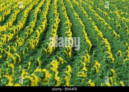 Sunflowers growing in field, full frame - Stock Photo
