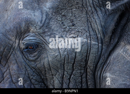 a detail of an African elephant's face and eye, Kruger National Park, South Africa - Stock Photo