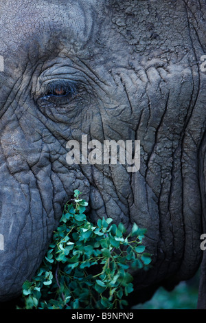 a detail of an African elephant's head and eye, eating vegetation, Kruger National Park, South Africa - Stock Photo