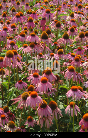 how to make echinacea tea from plant
