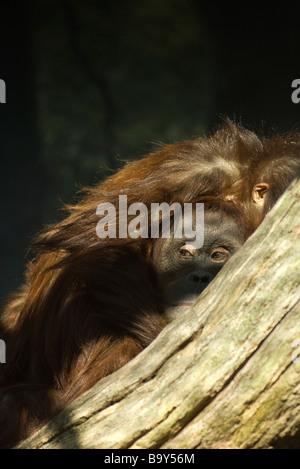 Orangutan (Pongo pygmaeus) - Stock Photo