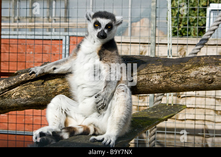Ring Tailed Lemur - Stockfoto