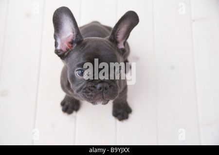 French bulldog looking up - Stock Photo