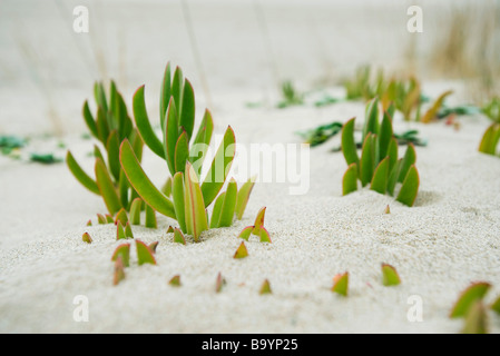 Succulent plants growing in sand - Stock Photo
