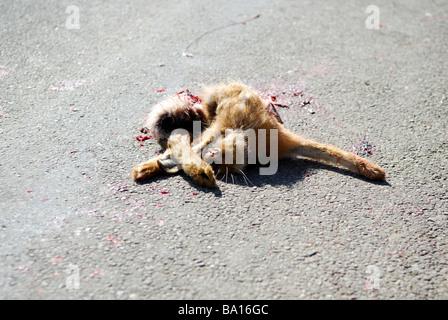 Roadkill Hare . - Stock Photo