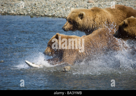 Mother Brown Bear and her cubs chase Salmon at Mikfik Creek during Summer in Southwest Alaska. - Stock Photo