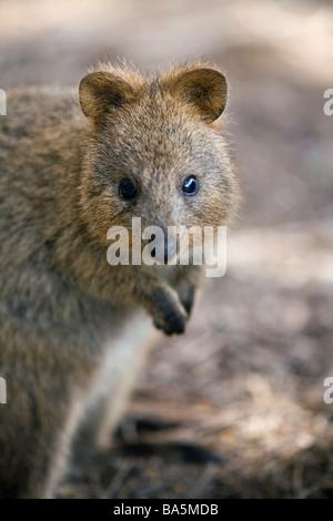 Marsupial Quokka Quokka Setonix ...