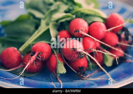 Fresh radish on a plate, Sweden. - Stock Photo