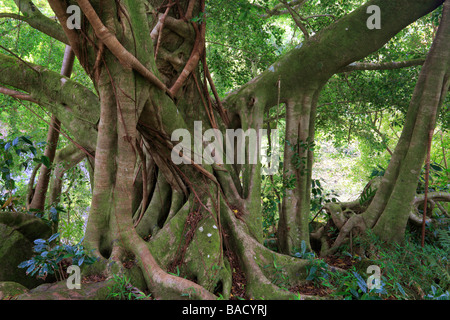 Banyan tree along the Pipiwai trail to Waimoku Fall in the Kipahulu area of Haleakala National Park in Maui, Hawaii - Stock Photo