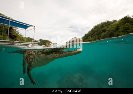 Saltwater Crocodile Crocodylus porosus Micronesia Palau - Stock Photo
