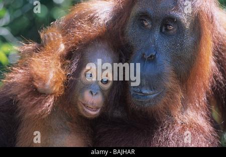 Orangutan embracing young, close-up - Stock Photo