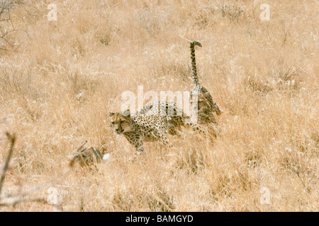 Africa Kenya Samburu National Reserve two Cheetahs Acinonyx jubatus hunting a hare - Stock Photo