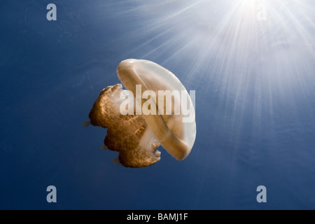 Mastigias Jellyfish in Backlight Mastigias papua etpisonii Jellyfish Lake Micronesia Palau - Stock Photo