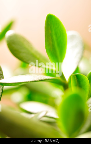 Jade plant friendship tree or money plant Crassula ovata succulent green leaves - Stock Photo