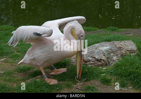 Eastern White Pelican (pelecanus onocrotalus) gathering nesting material, London Zoo, England - Stockfoto